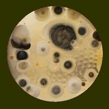 Cladosporiu